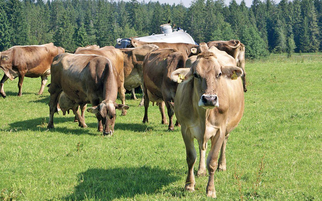 Mehr Mineralstoffe für Kühe bei Hitze