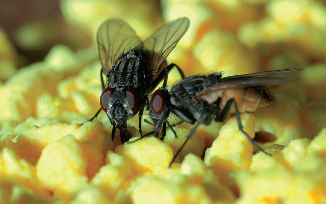 Fliegen – nicht nur lästig, sondern auch gefährlich!